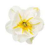 Narcissus. The magnificent narcissus is on the white stock photo