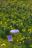 Narcissus-meadow Stock Image