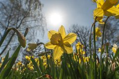 The narcissus Narcissus flowers and plants in springtime stock photography