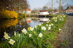 Narcissus. Near canal Buxtehude (Lower Saxony Stock Image