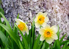 Narcissus near a tree Royalty Free Stock Photography