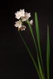 narcissus paperwhite fotografia royalty free