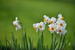 Narcissus papyraceus, Paperwhite Flowers Stock Photo
