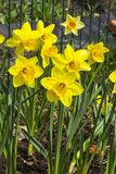 Narcissus of the Pimpernel species. On a flowerbed stock images