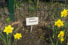 Narcissus of the Pimpernel species. On a flowerbed royalty free stock photo