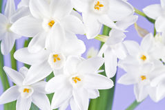 A narcissus plant blooming, on lavender background Stock Photos