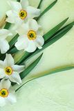 Narcissus poeticus. Beautiful spring daffodils on artificial background Stock Photos