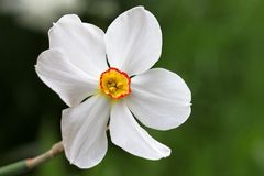Narcissus poeticus Stock Photography