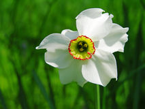 Narcissus poeticus flower Stock Photo