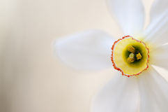 Narcissus poeticus Royalty Free Stock Image