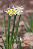 Narcissus poeticus Royalty Free Stock Photography