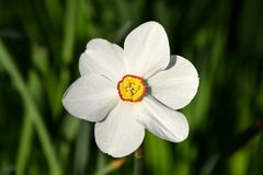 Narcissus poeticus, white narcissus flower close-up. Narcissus is a genus of predominantly spring perennial plants of the amaryllis family. Various common names royalty free stock images