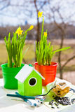 Narcissus in pots and shovel in spring Stock Image