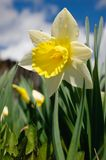 Narcissus pseudonarcissus Fotografia Stock