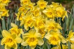Narcissus Pseudonarcissus Stock Afbeeldingen