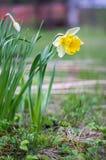 Narcissus Pseudonarcissus Royalty-vrije Stock Afbeelding