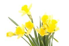 Narcissus pseudonarcissus stock photo