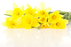 Narcissus pseudonarcissus Royalty Free Stock Image