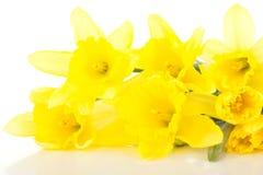 Narcissus pseudonarcissus Stock Photos