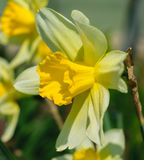 Narcissus pseudonarcissus commonly known as wild daffodil or Lent lily. Detail royalty free stock photography