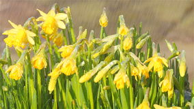 Narcissus rain shower with angle. Narcissus flowers getting a rain shower under an angle in springtime stock footage