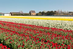 Narcissus and Red tulip field Stock Photos