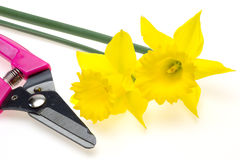 Narcissus and scissors for gardening Royalty Free Stock Image
