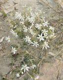 Narcissus serotinus Royalty Free Stock Photo