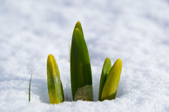 Narcissus in the snow. Spring bulbs of narcissus in the snow Royalty Free Stock Image