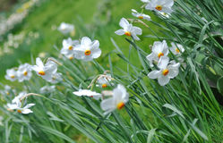 Narcissus. Some white narcissus growing in a garden Stock Images