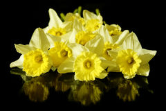Narcissus sp. flowers Stock Image