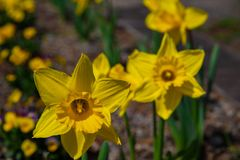 Narcissus in Spring. Blooming daffodils, Spring bulbs. Narcissus is a genus of predominantly spring perennial plants of the Amaryllidaceae amaryllis family royalty free stock photography