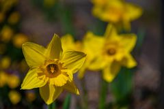 Narcissus in Spring. Blooming daffodils, Spring bulbs. Narcissus is a genus of predominantly spring perennial plants of the Amaryllidaceae amaryllis family royalty free stock images
