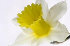 Narcissus `Spring Dawn` Royalty Free Stock Photos