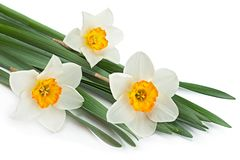 Narcissus spring flower on white Royalty Free Stock Image