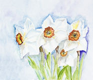 Narcissus spring  flowers Royalty Free Stock Image