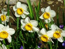 Narcissus in spring stock photos