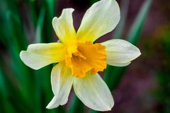Narcissus spring yellow flowers on sunshine glade royalty free stock images