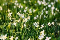 Narcissus Stellaris salvaje Foto de archivo libre de regalías