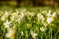 Narcissus Stellaris selvagem Foto de Stock Royalty Free