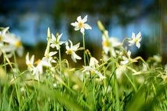 Narcissus Stellaris selvagem Imagem de Stock