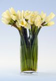 Narcissus still life. Studio image of narcissi on a blue gradient background Stock Photo