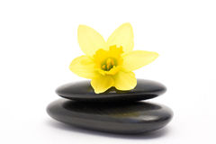 Narcissus and stones Stock Image