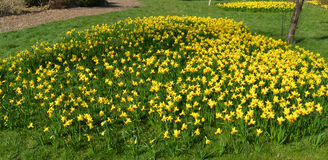 Narcissus Tete-a-Tete Royalty Free Stock Photos