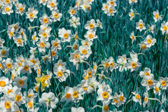 Narcissus. A toned image of a field of narcissus in full bloom stock photo