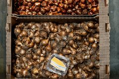 Free Narcissus Tulip Bulbs Scattered For Drying After Cleaning. Showcase In A Flower Shop. Natural Background Of Planting Royalty Free Stock Image - 108982346