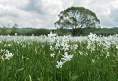 Narcissus Valley Stock Image