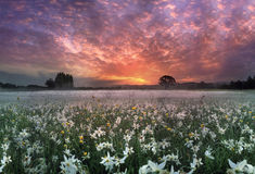 Narcissus Valley Image stock