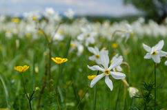 Narcissus Valley Royalty-vrije Stock Afbeelding