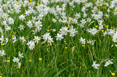 Narcissus valley Royalty Free Stock Image